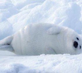 随着北极冰融化,科学家担心致命病毒会在动物中扩散